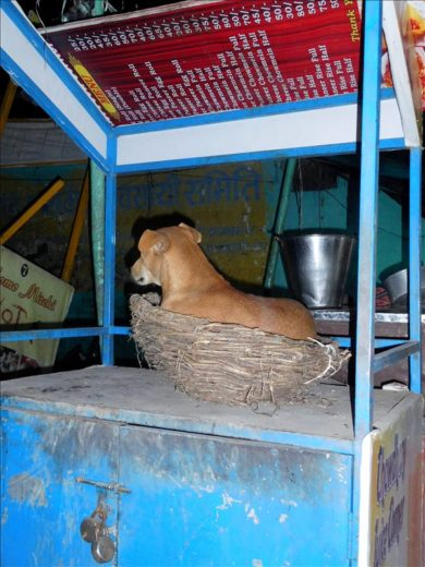 インド  動物と共存するインド バラナシの人たち